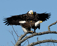Adult Bald Eagles mating at the Llano, TX nest site.