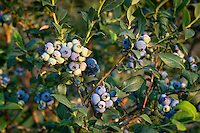 Blueberry bush, New Jersey, USA