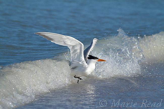 Royal Tern (Sterna maxima) running ahead of splashing wave, Fort DeSoto Park, Florida, USA