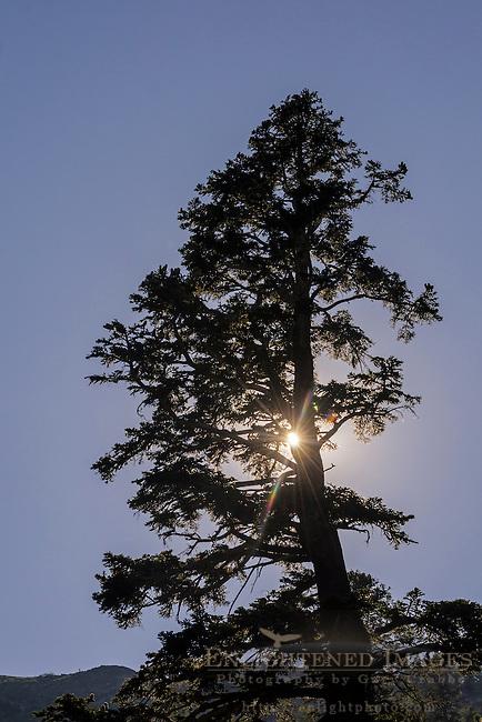 Tree and sun at Angora Lakes, Eldorado National Forest, near South Lake Tahoe, California