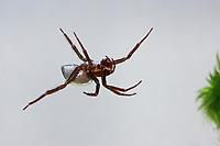Wasserspinne, Wasser-Spinne, Silberspinne, transportiert Luft, Luftblase unter Wasser, Argyroneta aquatica, diving bell spider, water spider, l'Argyronète