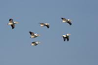 American White Pelican Flock od adult birds in flight pelicanus erythrorhynchos