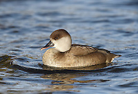 Red-crested Pochard - Netta rufina - female L 54-57cm. Large, distinctive diving duck; male is unmistakable. Associates with other diving ducks. In flight, both sexes show striking white wing bars. Sexes are dissimilar in other regards. Adult male has rounded, bright orange head, black neck, breast, belly and stern, and white flanks. Back is grey-buff and bill is bright red. In eclipse, resembles adult female but retains red bill. Adult female has mainly grey-buff plumage, darkest on back and above eye, and pale cheeks. Bill is mainly dark with pink tip. Juvenile Resembles adult female but bill is uniformly dark. Voice Mostly silent. Status Occurs in mainland Europe; some records may be genuine vagrants but most sightings are certainly escapees; feral populations are now established. Favours lakes and flooded gravel pits