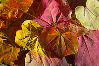 close up of colourful of reds and yellows autumn leaves