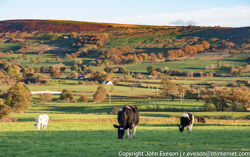 Dairy cows grazing in front of Longridge Fell, Longridge, Lancashire.