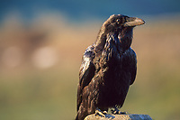 Common raven, Denali National Park, Alaska