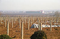 The vineyard at the Great Wall (Hua Xia) Winery. It is so cold in winter that the vines have to be covered with earth. The vines are trained on wires, concrete, rather than wooden, poles are used. A town in the background. Beijing, China, Asia