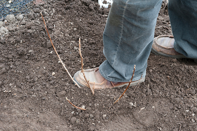 Planting a container-grown blackcurrant bush. Image 6 of 10.