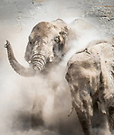 African bush elephants (Loxodonta africana) take dust baths, Etosha National Park, Namibia<br />
