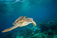 A green sea turtle, Chelonia mydas, swimming in the shallows of Apo Island, Philippines, Indo-Pacific Ocean