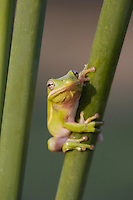 Green Treefrog (Hyla cinerea), Sinton, Corpus Christi, Coastal Bend, Texas, USA