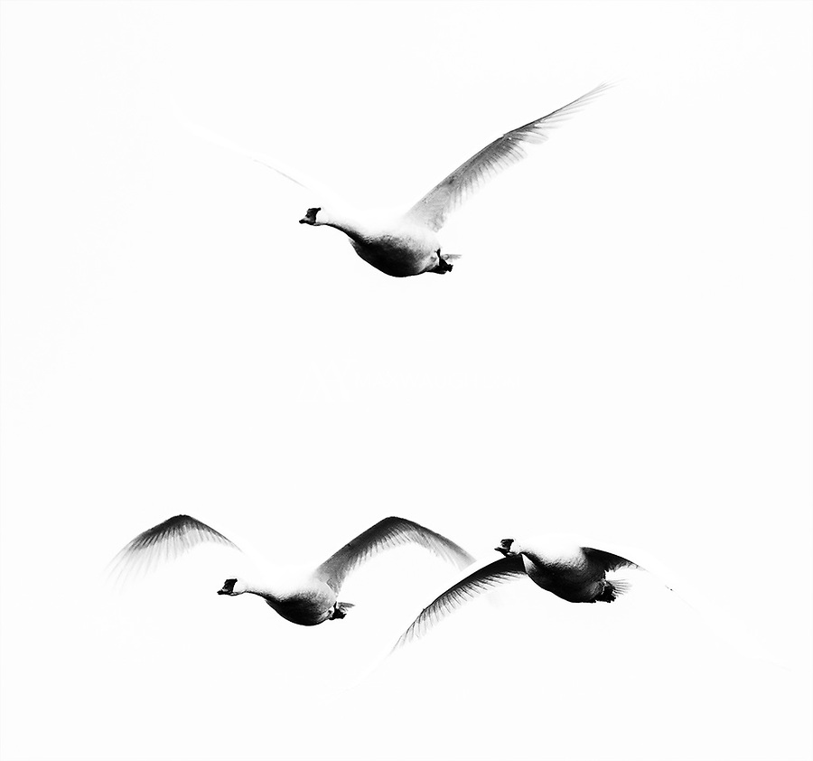 Trumpeter swans migrate over the Skagit Valley.