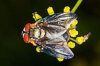 Raupenfliege, Wanzenfliege, Männchen, Phasia hemiptera, Alophora hemiptera, Raupenfliegen, Schmarotzerfliegen, Tachinidae, tachinids, parasitic flies