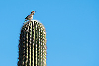 Cactus Wren, Campylorhynchus brunneicapillus, sings while perched on a Saguaro cactus, Carnegiea gigantea, in Papago Park, part of the Phoenix Mountains Preserve near Phoenix, Arizona