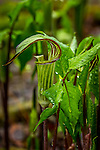 Jack-in-the-Pulpit at the Wild Gardens of Acadia at Sieur de Monts in Acadia National Park, Maine, USA