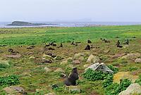 Northern Fur Seals on the shores of St. Paul, Pribilof Islands, Alaska.