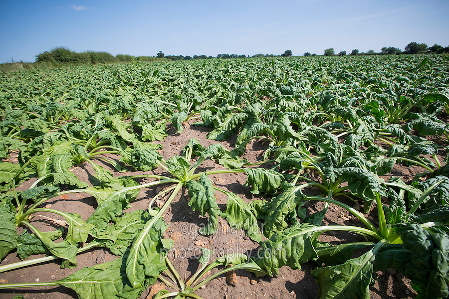 Sugar beet wilting due to low rainfall and high temperatures