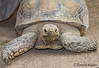 1121-0802  African Spurred Tortoise, Geochelone sulcata © David Kuhn/Dwight Kuhn Photography