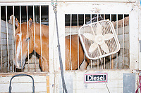 A horse named Diesel stands in a pen in the Horse Barn at the Iowa State Fair in Des, Moines, Iowa, on Sun., Aug. 11, 2019.