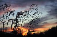 Maiden Grass against Autumn Sunset