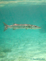 0110-1201  Great Barracuda (Giant Barracuda) in the Caribbean, Sphyraena barracuda  © David Kuhn/Dwight Kuhn Photography
