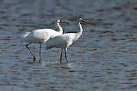 Whooping Crane pair in the coastal waters off Texas