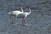 Whooping Crane pair in the coastal waters off Texas