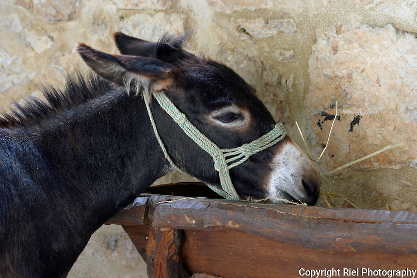A donkey eats at its rustic trough in Croatia
