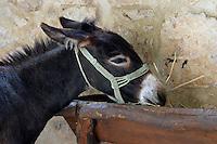 A donkey eats at its rustic trough in Croatia