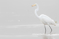 00688-02503 Great Egret (Ardea alba) feeding in wetland in fog, Marion Co., IL
