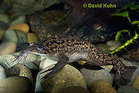 1102-1003  African Clawed Frog Underwater (Cape Platanna), Xenopus laevis  © David Kuhn/Dwight Kuhn Photography