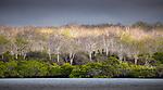 Mangrove & Palo Santo, Black Turtle Cove, Santa Cruz Island, Galapagos Islands, Ecuador