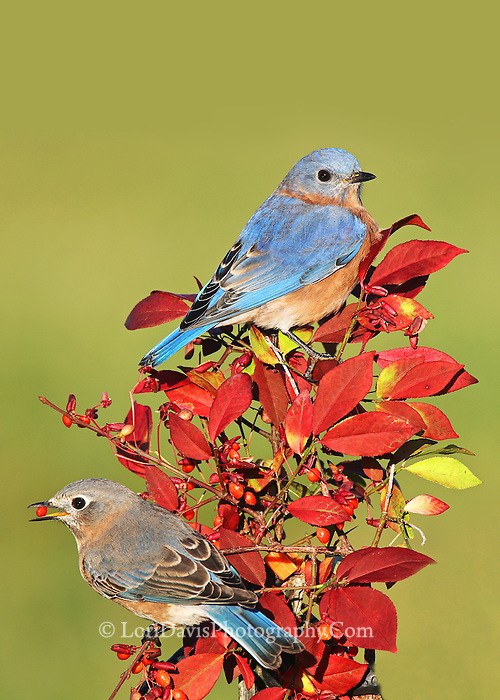 Bluebird pair on autumn burning bush