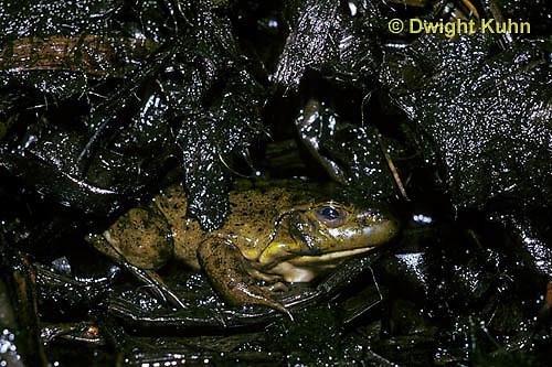 FR07-004z  Bullfrog - adult hibernating in mud - Lithobates catesbeiana, formerly Rana catesbeiana