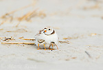 Piping Plover (Charadrius melodus) adult brooding two chicks, northern Massachusetts, USA