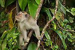 Long-tailed Macaque (Macaca fascicularis) male in tree, Tawau Hills Park, Sabah, Borneo, Malaysia
