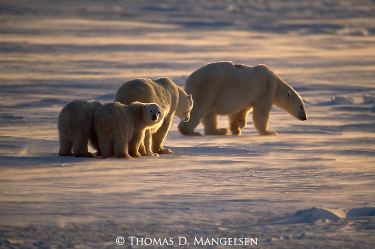 A polar bear family walks across the snow in Canada.