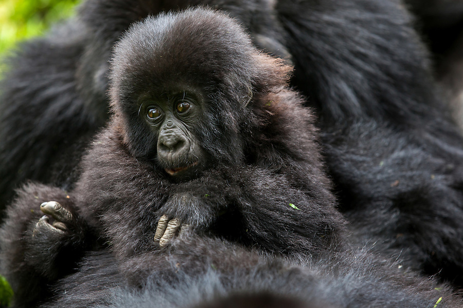 A young gorilla rests pensively on its mother's body as she tries to rest in the jungle of Rwanda's Virunga Mountains.