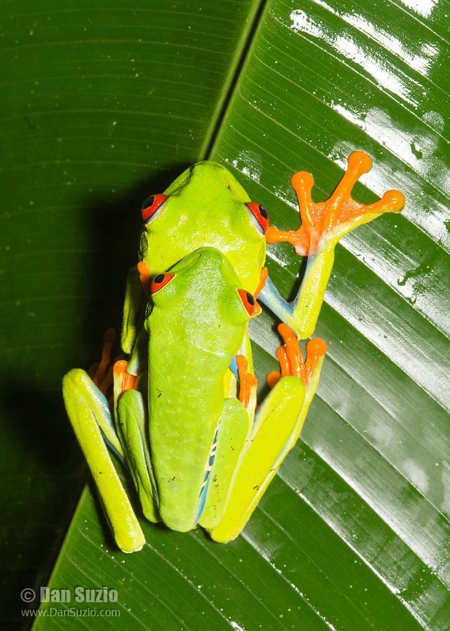 Red-eyed Treefrog, Agalychnis callidryas, in amplexus (mating) at Tirimbina Biological Reserve, Costa Rica.