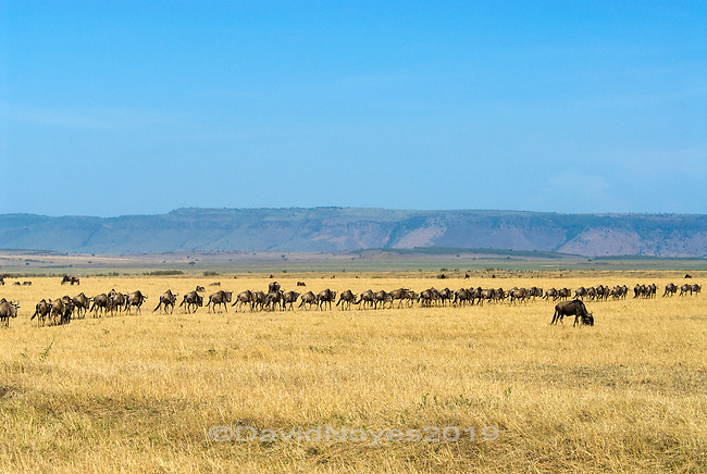 Widebeest fall into a single line to begin there journey out of the Maasai Mara. Each year an estimated1.5 million wildebeest along with thousands of zebra and gazelle make a 500-mile migratory circle. Buy July, the migration begins its turn northeast for the Maasai Mara where they will graze until October before they again turn south to their breeding grounds in Tanzania..