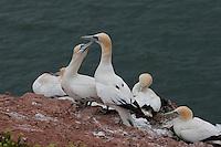 Basstölpel, Baßtölpel, am Vogelfelsen Helgoland, Tölpel, Sula bassana, Morus bassanus, northern gannet