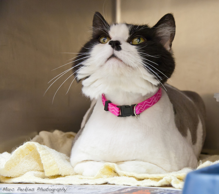 Bessie, a black and white female domestic longhair cat.  6904.