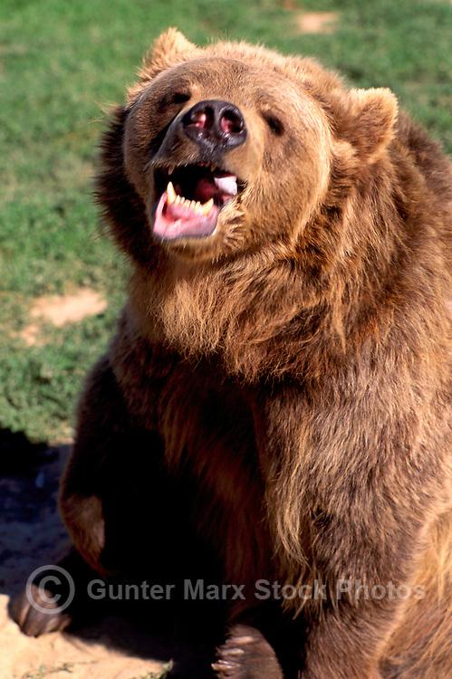 Kodiak Bear aka Alaskan Grizzly Bear and Alaska Brown Bear (Ursus arctos middendorffi) snarlng - North American Wild Animals