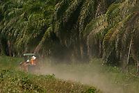 Produção de dendê da Agropalma a beira da Pa 150.<br /> Mojú, Pará, Brasil.<br /> Foto Paulo Santos<br /> 11/11/2010.