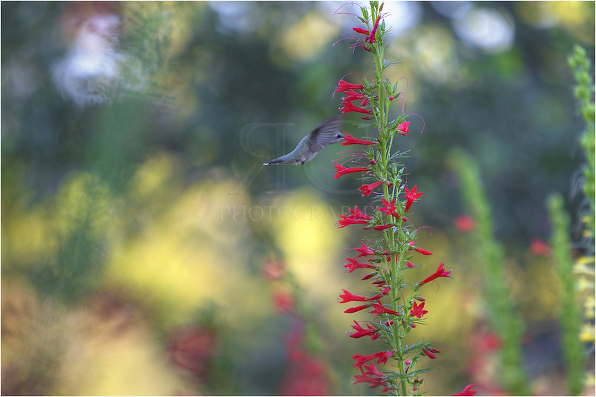 Feeding from a rising Red Texas Star, also known as Standing Cypress, this hummingbird is gathering up nectar in a field of these Texas Wildflowers. Capturing these images of hummingbirds in Texas Wildflowers is pretty easy. You just need patience.