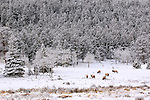 With the drama and distraction of the rut behind them, a herd of bachelor elk keeps to themselves, grazing on grasses that lie just below the freshly fallen snow in Rocky Mountain National Park, Colorado.