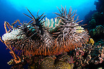 A coral killing Crown of Thorns starfish, Acanthaster planci, attacks living hard corals, Parigi Moutong, Central Sulawesi, Indonesia, Pacific Ocean