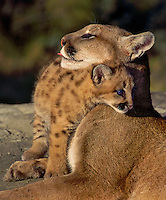 Cougar (Felis concolor) mom & young. Age 4 weeks..Autumn. Rocky Mountains. (aka mountain lion & puma.)