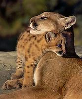 Cougar (Felis concolor) mom & young. Age 4 weeks..Autumn. Rocky Mountains. (aka mountain lion & puma.)