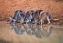 Australia,  NSW, Sturt National Park; red kangaroos (Macropus rufus) drinking at water hole at dusk; the red kangaroo population increased dramatically after the recent rains in the previous 3 years following 8 years of drought